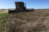 PEAOLA: Farmers experiment with peas and canola in same field at the same time