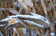 Is leaving corn out in the winter a good idea?