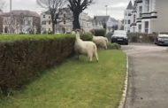 VIDEO (53 seconds): Wild goats take over Welsh town amid covid-19 lockdown
