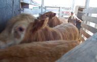 Livestock prices and economy to rebound, FCC says