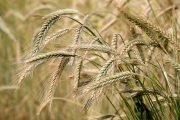 China slaps Australia with 80 per cent barley tarrifs as Aussies push for COVID-19 investigation
