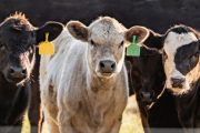 Livestock cash receipts up, crop cash receipts down in first quarter 2020