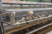 Dutch mink on farm may have passed coronavirus to humans
