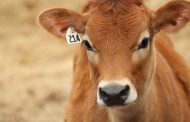 Two young jersey cattle stolen in Township of Perth East