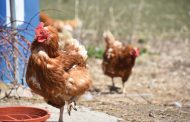 WESTERN ONTARIO: Backyard chicken bonanza with egg shortages and limitations at grocery stores