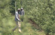 As many as 2,000 illegal migrant farm workers in Ontario, say advocates