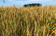 WESTERN ONTARIO: Winter wheat harvested early, decent yield despite weather