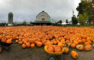CALEDON: Downey's Farm shuts down scenic pumpkin patch for first time in 30 years because of COVID-19