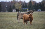 EASTERN ONTARIO: Farmers find niche market in shaggy, docile Highland cattle