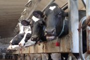Feds still haven't followed through on dairy compensation promise,  Dairy Farmers of Canada say