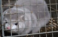 Animal activist found not guilty of breaking and entering into mink farm
