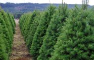 Christmas trees sales boom: Growers see bigger demand, smaller supply
