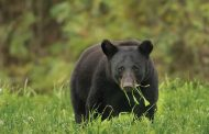 EASTERN ONTARIO: Two vehicle collisions with bears in Lanark