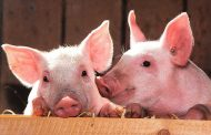 Pig kidney functions in human for first time