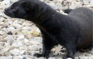 SOUTHWESTERN ONTARIO: Trial begins for animal activist who allegedly broke into mink farms