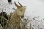 EASTERN ONTARIO: Goats on Winchester-area farm can't eat anymore Christmas trees, say owners