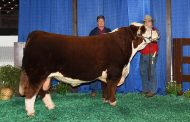 WESTERN ONTARIO: West Elgin Hereford cattle drawing eyes overseas