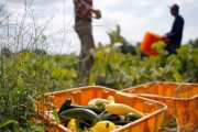 U.S. to offer foreign-born farm workers path to citizenship, overtime pay