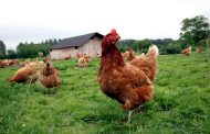 Chicken Farmers of Ontario cuts production eight per cent after new lockdown
