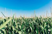 Corn growers, be on the lookout for 'tar spot'