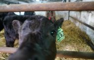 WESTERN ONTARIO: Odds 100,000 to 1; Lucan-area Angus cow births triplets