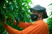 Indoor farming grains ground amid pandemic