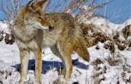 Coyote-killing contest draws animal groups' ire