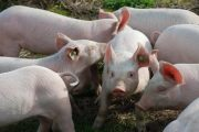 Unions urge delay of Olymel Alberta pork plant's March 3 re-opening