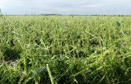 Hail shreds soybean, corn crop in swath of North Dundas Township in Eastern Ontario