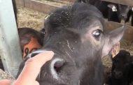 Perth County farm milks 150 water buffalo