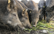 Producers blindsided by proposed ban on raising wild boar