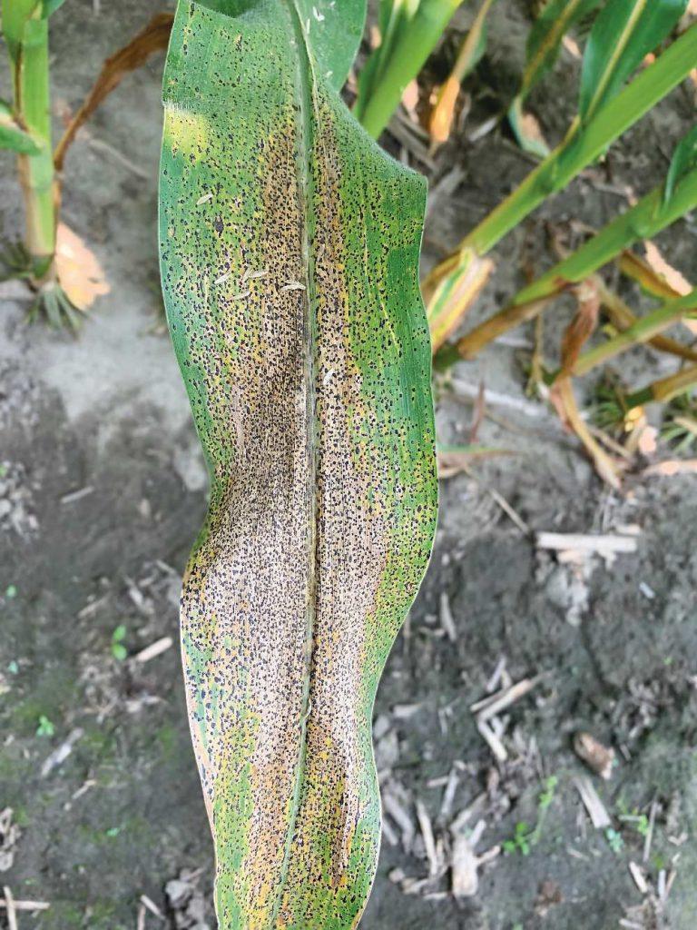 Tar spot on a corn leaf.