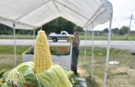 Sweet corn yield bonanza delights area growers