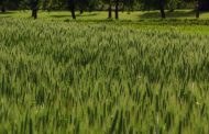 Farmers' interest piqued in new crop triticale as forage for dairy cows