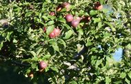 Apples: quality up, yields down